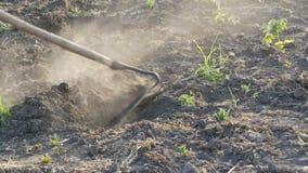Фермер работает на земле Выкапывая отверстия с сапкой сада Сухие земля и пыль от ее Аграрный инструмент в поле видеоматериал