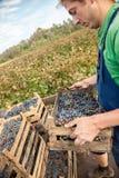 Фермер работая в винограднике Стоковое Фото