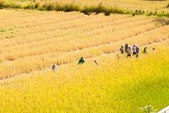 Фермер работая в поле риса Стоковое Изображение