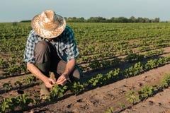 Фермер работая на плантации сои, рассматривая развитии урожаев стоковое изображение