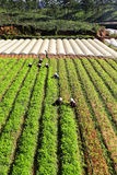Фермер работая на поле моркови Стоковая Фотография RF