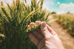 Фермер рассматривает развитие урожая пшеницы стоковое фото rf