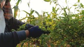Фермер рук собирая лепешки chili на ветвях акции видеоматериалы
