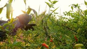 Фермер рук собирая лепешки chili на ветвях видеоматериал