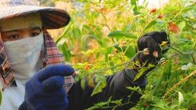 Фермер собирая лепешки chili на ветвях акции видеоматериалы