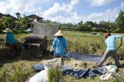 Фермер собирая рис в традиционном пути Ubud, Бали Индонезия Стоковое Изображение