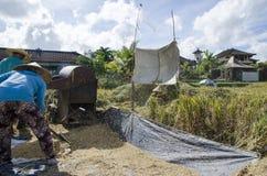 Фермер собирая рис в традиционном пути Ubud, Бали Индонезия Стоковое фото RF