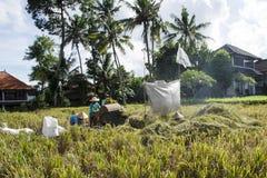 Фермер собирая рис в традиционном пути Ubud, Бали Индонезия Стоковая Фотография