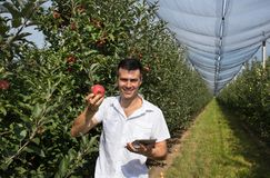 Фермер с яблоком и таблетка в саде стоковая фотография rf