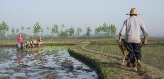 Фермер управляя тачкой на узком проходит прочь в ферму риса Стоковые Фотографии RF