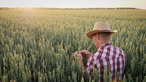 Фермер человека проверяет рост пшеницы на поле акции видеоматериалы