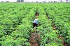Фермер человека в зеленой рубашке заботит зеленые урожаи кассавы стоковые фото