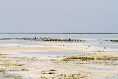 Фермы морской водоросли в Индийском океане, Занзибаре стоковые фотографии rf