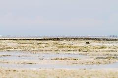 Фермы морской водоросли в Индийском океане, Занзибаре стоковое изображение rf