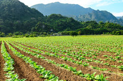 Фермы табака (tabacum Linn Nicotiana) стоковое изображение