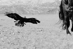 Фестиваль беркута в зиме снежной Монголии Стоковая Фотография