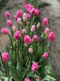 Фестиваль тюльпана ботинка розовых тюльпанов деревянный стоковые изображения rf