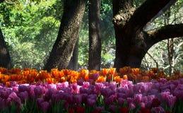 Фестиваль 2018 цветка АСЕАН Chiangrai поля тюльпана стоковые изображения rf
