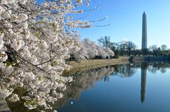 Фестиваль вишневого цвета вашингтон dc Стоковое Изображение
