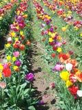 Фестиваль тюльпана, Орегон Стоковые Фотографии RF