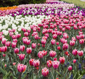 Фестиваль тюльпана Оттавы Стоковая Фотография RF