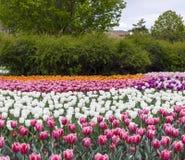 Фестиваль тюльпана Оттавы Стоковое Изображение RF