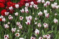 Фестиваль тюльпана Оттавы Стоковое фото RF