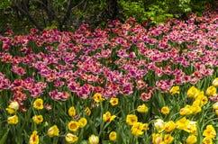 Фестиваль тюльпана Оттавы Стоковые Фотографии RF