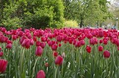 Фестиваль тюльпана Оттавы Стоковые Изображения