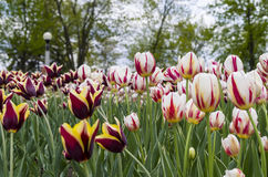 Фестиваль тюльпана Оттавы Стоковое Изображение