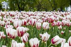 Фестиваль тюльпана Оттавы Стоковые Фото