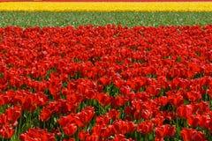 Фестиваль тюльпана Стоковое Изображение RF