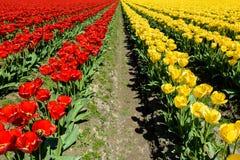 Фестиваль тюльпана Стоковые Фотографии RF