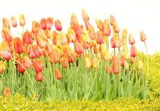 Фестиваль тюльпана Стоковая Фотография