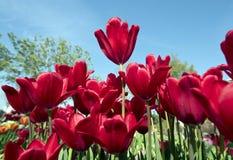 Фестиваль тюльпана Стоковые Фото