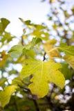 Фиговые листки в autum Стоковые Фото