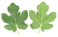 Фиговые листки Стоковое Фото