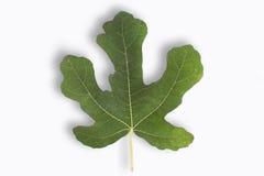 Фиговый листок Стоковая Фотография