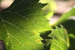 Фиговый листок Стоковая Фотография RF