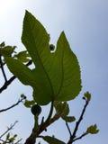 Фиговый листок от другого пути стоковая фотография