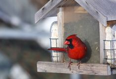 фидер cardinal птицы Стоковые Фотографии RF