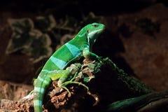 Фиджи соединило игуану fasciatus Brachylophus arboreal вид ящерицы стоковая фотография