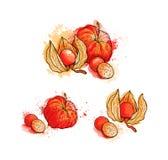 Физалис нарисованный рукой красочный яркий, ягоды Акварели, белые Стоковое Изображение