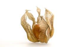 Физалис или накидка goosberry Стоковая Фотография