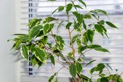 Фикус Benjamina польза завода листьев дома детали предпосылки Стоковое Изображение RF