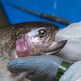 Филе форели вырезывания на рыбоводческом хозяйстве, Франции стоковые изображения