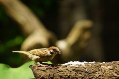 Филиппинский воробей дерева птицы или eurasian Майя садясь на насест на ветви дерева Стоковые Фотографии RF