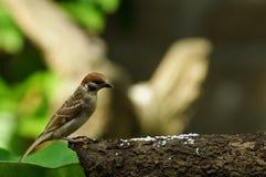 Филиппинский воробей дерева птицы или eurasian Майя садясь на насест на ветви дерева Стоковое Фото