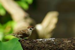 Филиппинский воробей дерева птицы или eurasian Майя садясь на насест на ветви дерева Стоковое Изображение