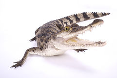 Филиппинский крокодил, mindorensis крокодила Стоковые Изображения RF